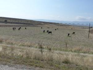 TR_to-Amasya-Kühe_A