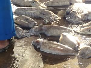 10-UAE_Sharj_Hafen_Tintenfisch