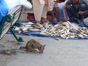 12-UAE_Sharj_Hafen_Katze-Fisch