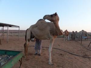 65c_UAE_hi-AlAin_K-milch1_Bildgröße ändern