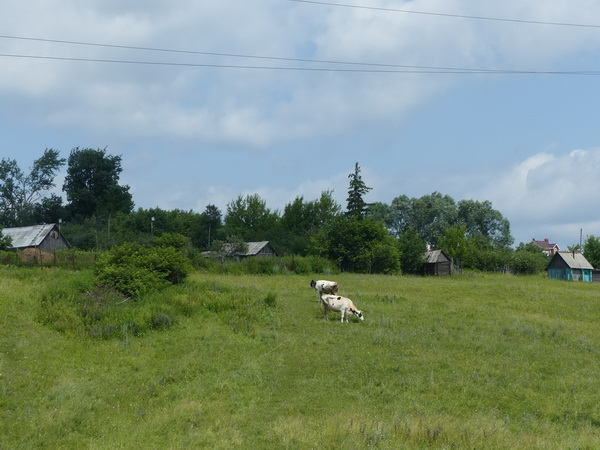 133-RUS_to_Suzdal_Dorf-2-Kühe