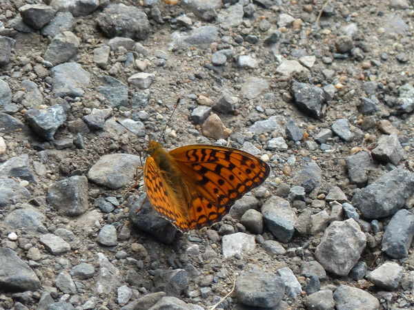 56-RUS-to-Omsk_Schmetterling
