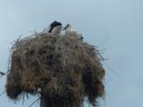 20_TR_18-6-24_Kiz-Del_Stor-Nest-Vögel-1a
